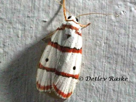 Red Striped Tiger Moth - Sri Lanka Rotstreifen Tiger Motte